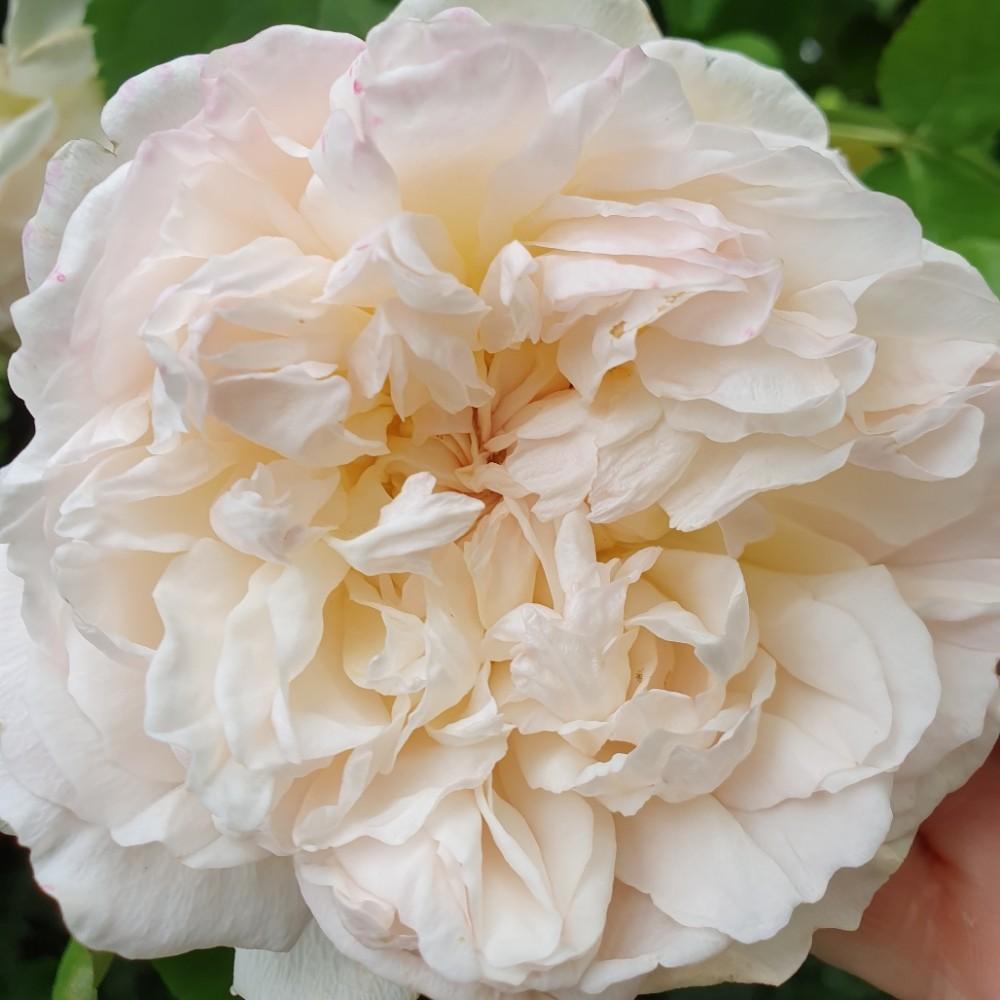 Düfte und Gerüche – Rose