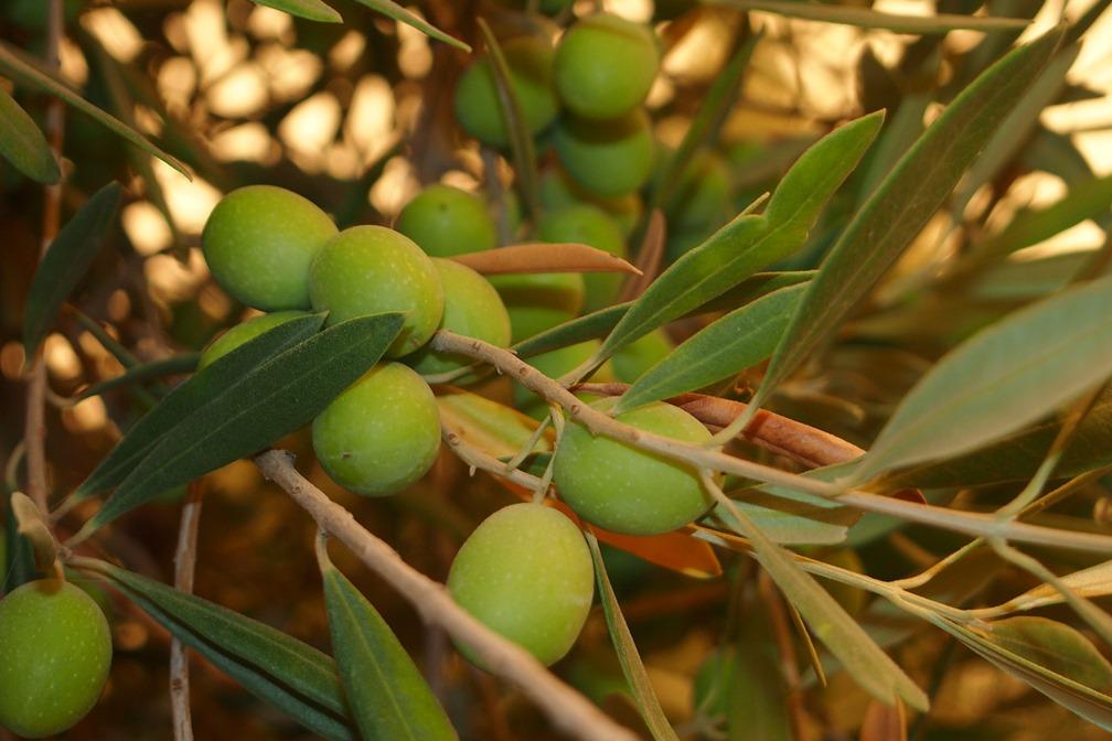 Olivenbaum – Oliven